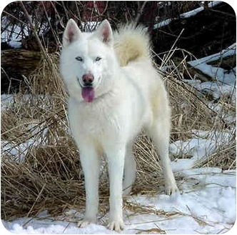 Siberian Husky Dog for adoption in Austin, Minnesota - Aztec
