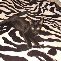 Adopt A Pet :: Panther - Old Town, FL