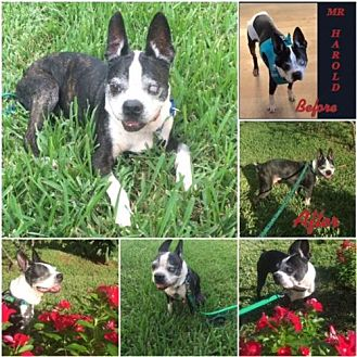 Boston Terrier Dog for adoption in various cities, Florida - Mr Harold FL