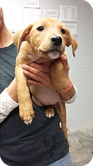 Labrador Retriever Mix Puppy for adoption in Paducah, Kentucky - Kacey