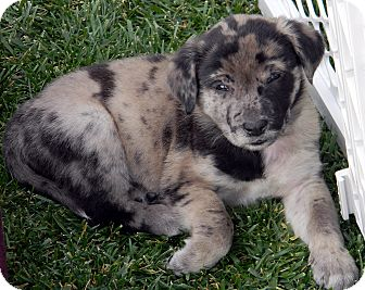 Catahoula Leopard Dog/Labrador Retriever Mix Puppy for adoption in Broomfield, Colorado - Frank