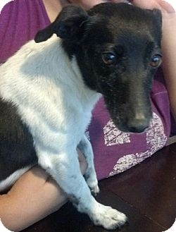 Jack Russell Terrier Mix Dog for adoption in San Diego, California - Angie URGENT