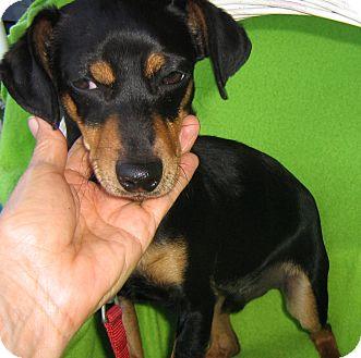 Dachshund/Miniature Pinscher Mix Puppy for adoption in Irvine, California - Archie WATCH MY VIDEO!!!
