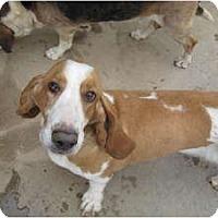 Basset Hound Mix Dog for adoption in Acton, California - Jenna