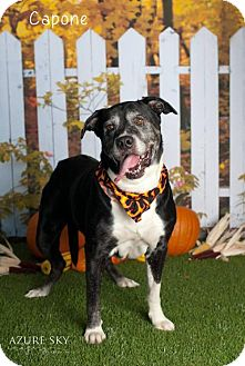 Mastiff/Labrador Retriever Mix Dog for adoption in Glendale, Arizona - Capone