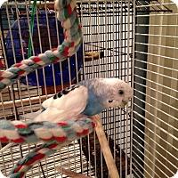 Adopt A Pet :: Whisper - St. Louis, MO