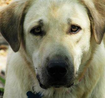 Anatolian Shepherd/Great Pyrenees Mix Dog for adoption in Whitewright, Texas - Van Dyke