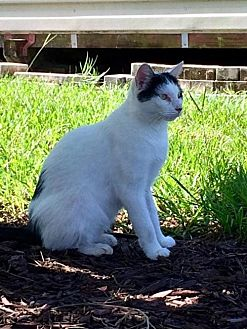 Domestic Shorthair Cat for adoption in St. Cloud, Florida - Snowflake