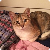 Domestic Shorthair Cat for adoption in West Des Moines, Iowa - Maggie Moo