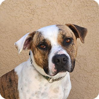 American Bulldog/Pit Bull Terrier Mix Dog for adoption in Newport Beach, California - Gavin