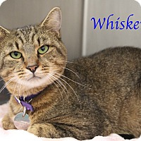 Adopt A Pet :: Whiskers - Bradenton, FL