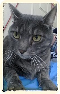Domestic Shorthair Cat for adoption in Trevose, Pennsylvania - Lacey Dee