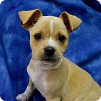 Adopt A Pet :: Brandon Belt - Portland, OR