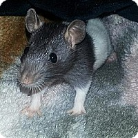 Adopt A Pet :: 2 Hooded, 2 Black (Females) - Lakewood, WA