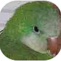 Adopt A Pet :: Kiwi - Hamilton, ON