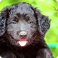Adopt A Pet :: River - Albany, NY