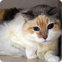 Domestic Shorthair Cat for adoption in Denver, Colorado - Aurelia
