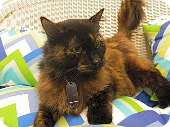 Domestic Longhair Cat for adoption in The Colony, Texas - Carter Squeak