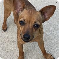 Adopt A Pet :: Kalli - Las Vegas, NV