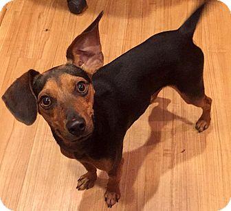 Dachshund/Beagle Mix Dog for adoption in Holliston, Massachusetts - Dustin