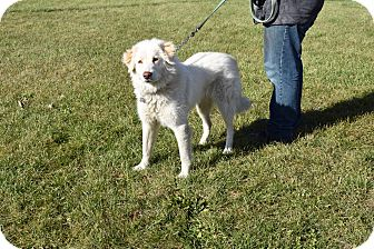 Great Pyrenees Mix Dog for adoption in North Judson, Indiana - suki