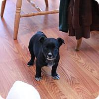 Adopt A Pet :: Star - CHESTERFIELD, MI