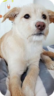 Jindo/Jack Russell Terrier Mix Puppy for adoption in LONG ISLAND CITY, New York - Sal-Goo