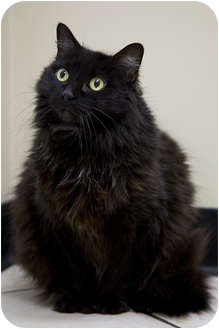 Domestic Longhair Cat for adoption in Chicago, Illinois - Shirley