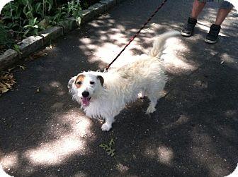 Terrier (Unknown Type, Medium) Mix Dog for adoption in Shirley, New York - Wishbone