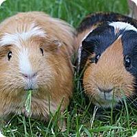 Adopt A Pet :: Cuddles & Reese - Brooklyn Park, MN