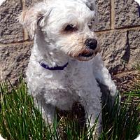 Adopt A Pet :: Bianca - Bridgeton, MO