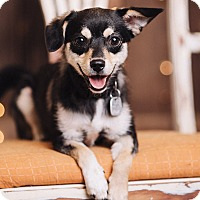 Adopt A Pet :: Scamp - Portland, OR
