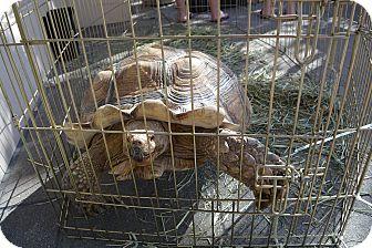 Tortoise for adoption in Ogden, Utah - Tuttle