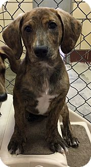 Basset Hound/Dachshund Mix Puppy for adoption in Battle Creek, Michigan - Jasper