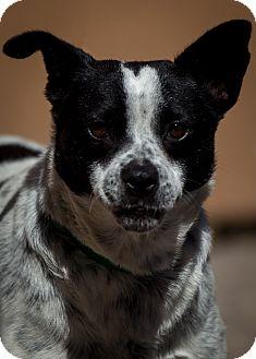 Australian Cattle Dog Mix Dog for adoption in Westminster, California - Tortilla