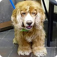 Adopt A Pet :: Snoop - Flushing, NY