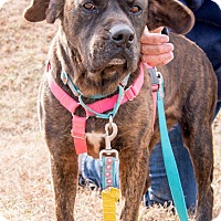 Adopt A Pet :: Duke the Brindle - Midlothian, VA
