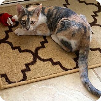 Domestic Shorthair Kitten for adoption in Arlington/Ft Worth, Texas - Holly