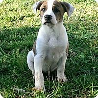 Adopt A Pet :: Angelica $250 - Seneca, SC