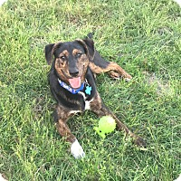 Catahoula Leopard Dog/Shepherd (Unknown Type) Mix Puppy for adoption in New Braunfels, Texas - Charlie