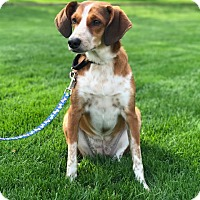 Foxhound/Beagle Mix Dog for adoption in Mentor, Ohio - Jada
