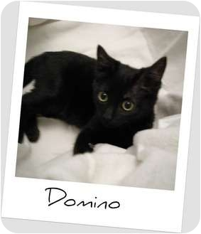 Domestic Shorthair Kitten for adoption in Hurst, Texas - Delightful Domino