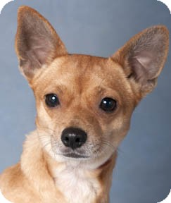Chihuahua Mix Dog for adoption in Chicago, Illinois - Chipper