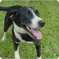 Adopt A Pet :: Stella - Russellville, AR