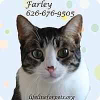 Adopt A Pet :: FARLEY Mowcat - Monrovia, CA