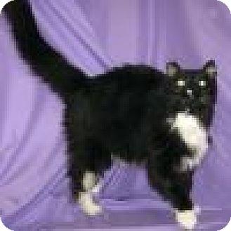 Domestic Longhair Cat for adoption in Powell, Ohio - Lottie
