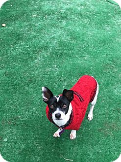 Chihuahua Mix Dog for adoption in Duchess, Alberta - Chico