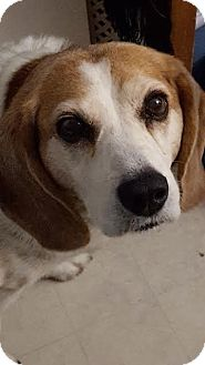 Beagle Mix Dog for adoption in Saskatoon, Saskatchewan - Jazzy
