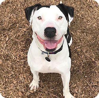 American Pit Bull Terrier/American Staffordshire Terrier Mix Dog for adoption in santa monica, California - Kevin