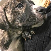 Adopt A Pet :: Lena-ADOPTION PENDING - Boulder, CO